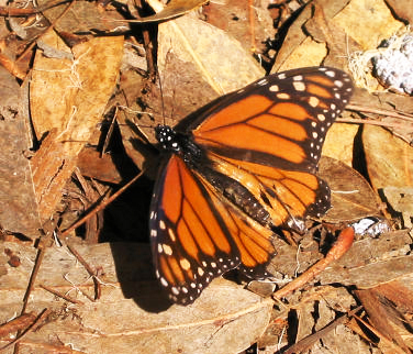 Monarchs are Migrating
