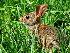 A rabbit listens for predators